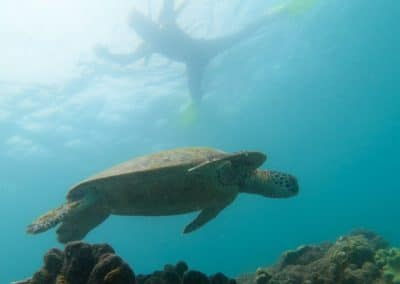 Whitsundays-Turtle